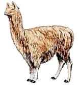 Alpaca clipart #12, Download drawings