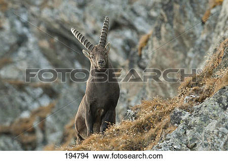 Alpine Ibex clipart #13, Download drawings