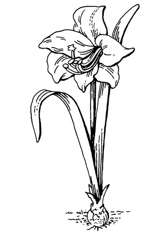 Amaryllis coloring #3, Download drawings