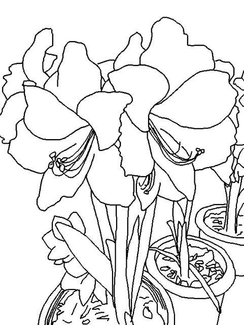 Amaryllis coloring #8, Download drawings