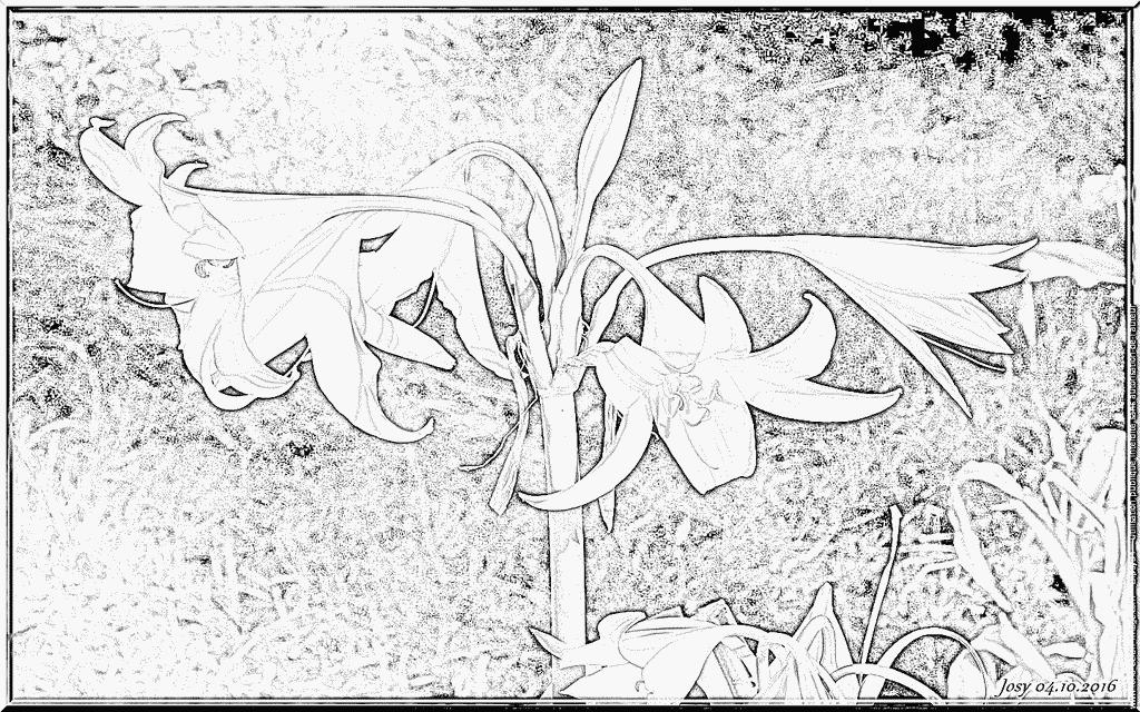 Amaryllis coloring #1, Download drawings