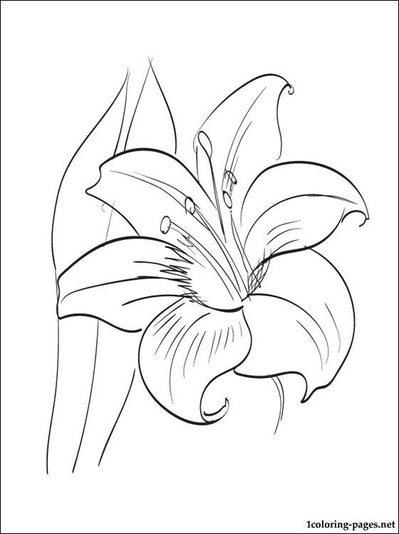 Amaryllis coloring #4, Download drawings