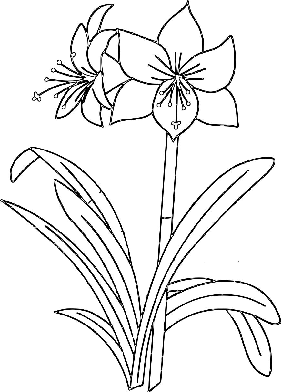 Amaryllis coloring #18, Download drawings