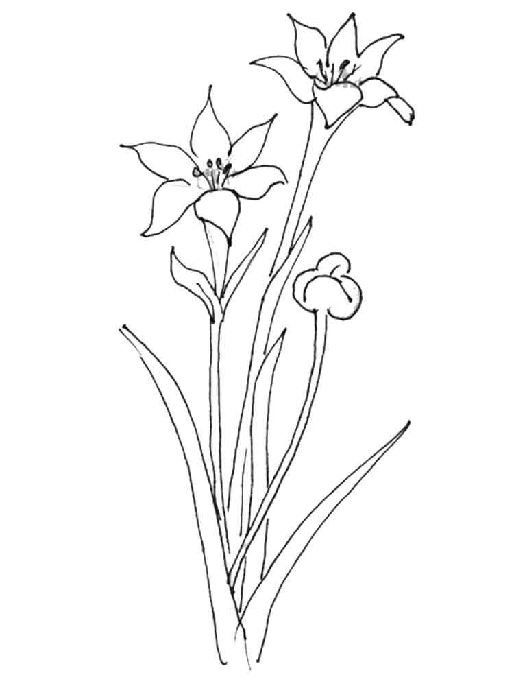 Amaryllis coloring #15, Download drawings