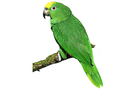 Amazon Parrot clipart #20, Download drawings