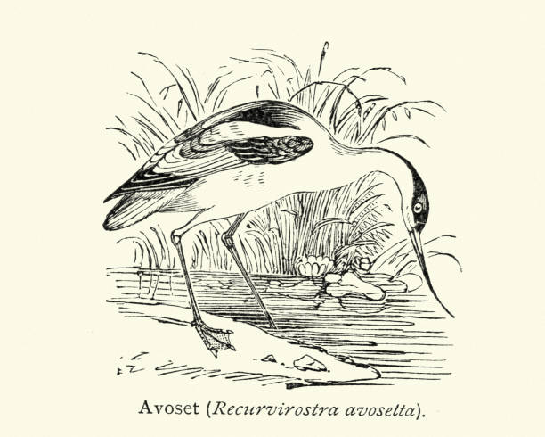 American Avocet clipart #12, Download drawings