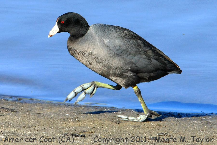 American Coot clipart #11, Download drawings