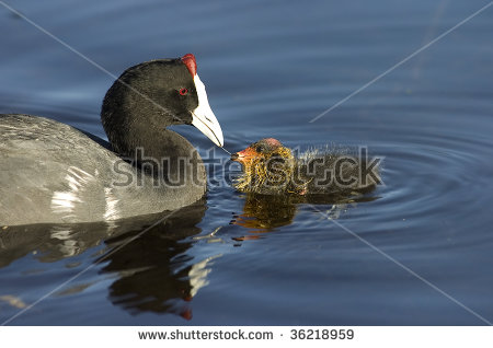American Coot clipart #1, Download drawings