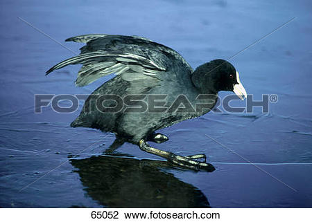 American Coot clipart #6, Download drawings