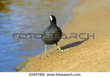 American Coot clipart #17, Download drawings