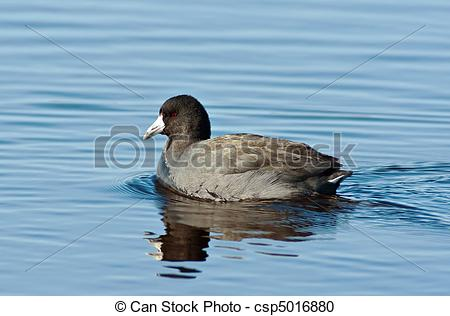 American Coot clipart #16, Download drawings