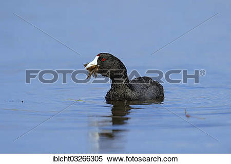 American Coot clipart #18, Download drawings