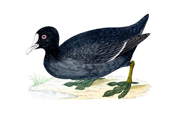 American Coot clipart #2, Download drawings