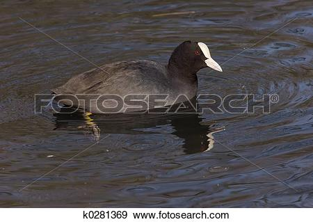 American Coot clipart #13, Download drawings