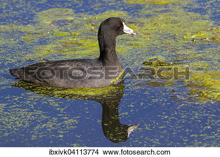 American Coot clipart #14, Download drawings