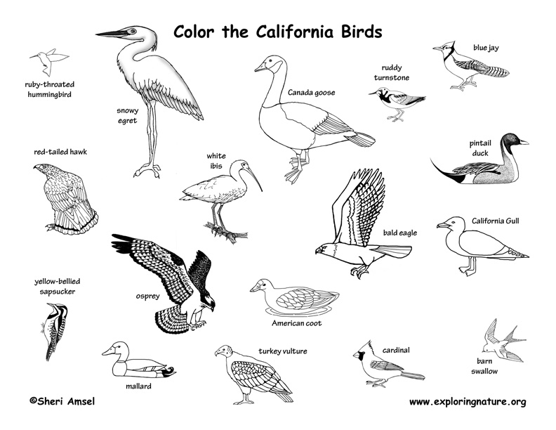 Freshwater Birds coloring #15, Download drawings