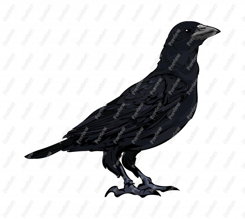 American Crow clipart #8, Download drawings