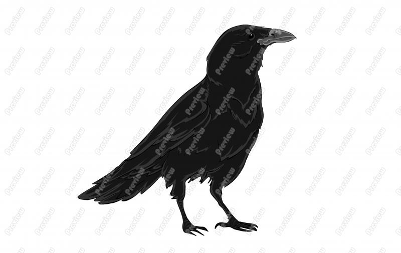 American Crow clipart #7, Download drawings