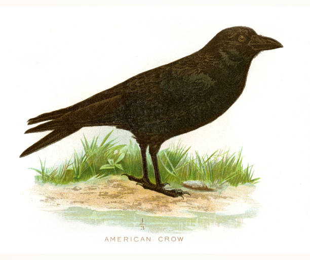 American Crow clipart #15, Download drawings