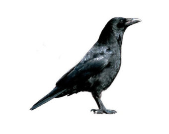 American Crow clipart #11, Download drawings