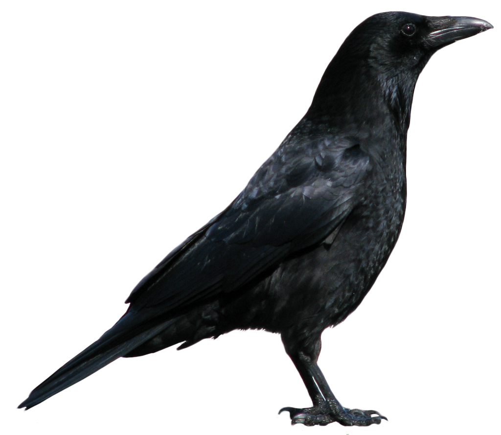 American Crow clipart #3, Download drawings