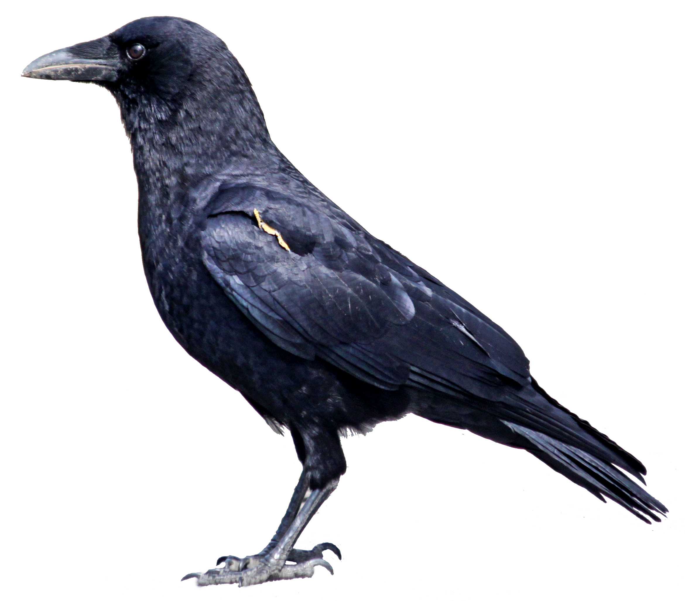 American Crow clipart #1, Download drawings