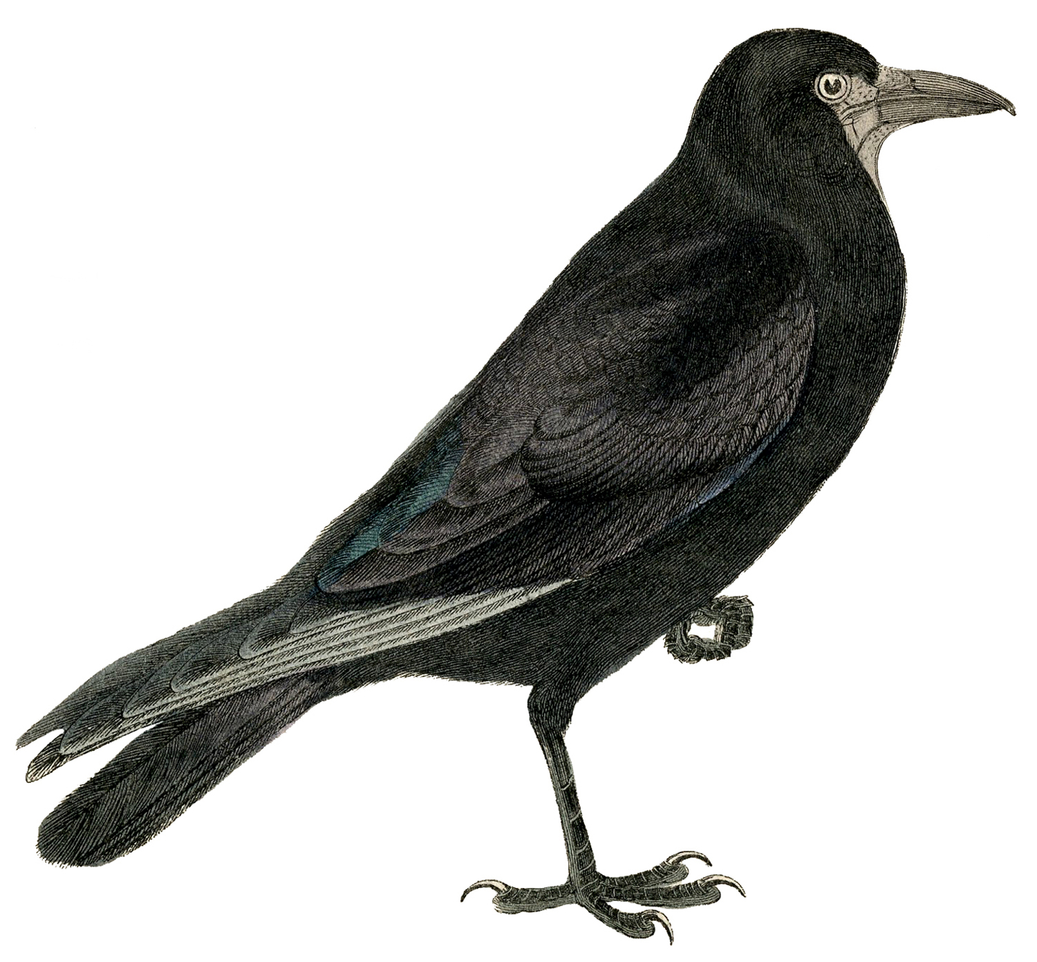 American Crow clipart #2, Download drawings