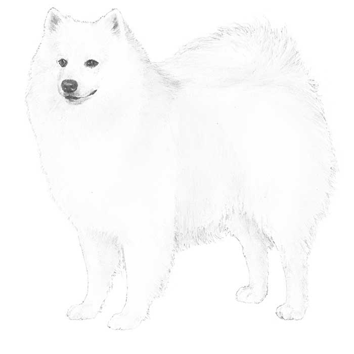 American Eskimo Dog svg #11, Download drawings