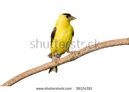 American Goldfinch clipart #10, Download drawings