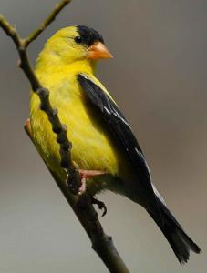 American Goldfinch clipart #6, Download drawings