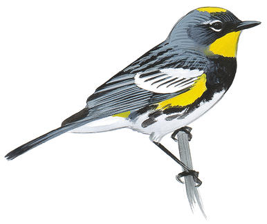 Yellow Warbler clipart #2, Download drawings