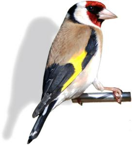 Goldfinch clipart #2, Download drawings