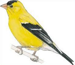 American Goldfinch clipart #19, Download drawings