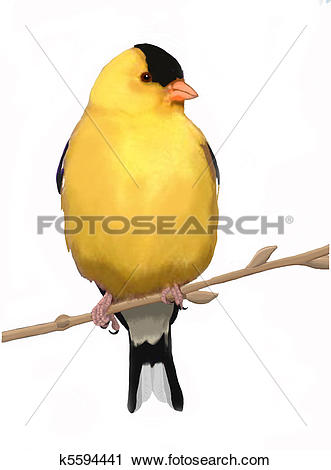 American Goldfinch clipart #15, Download drawings