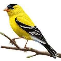 American Goldfinch clipart #11, Download drawings