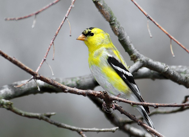 American Goldfinch svg #2, Download drawings