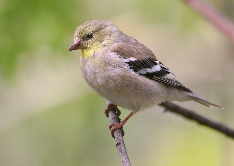 American Goldfinch svg #15, Download drawings