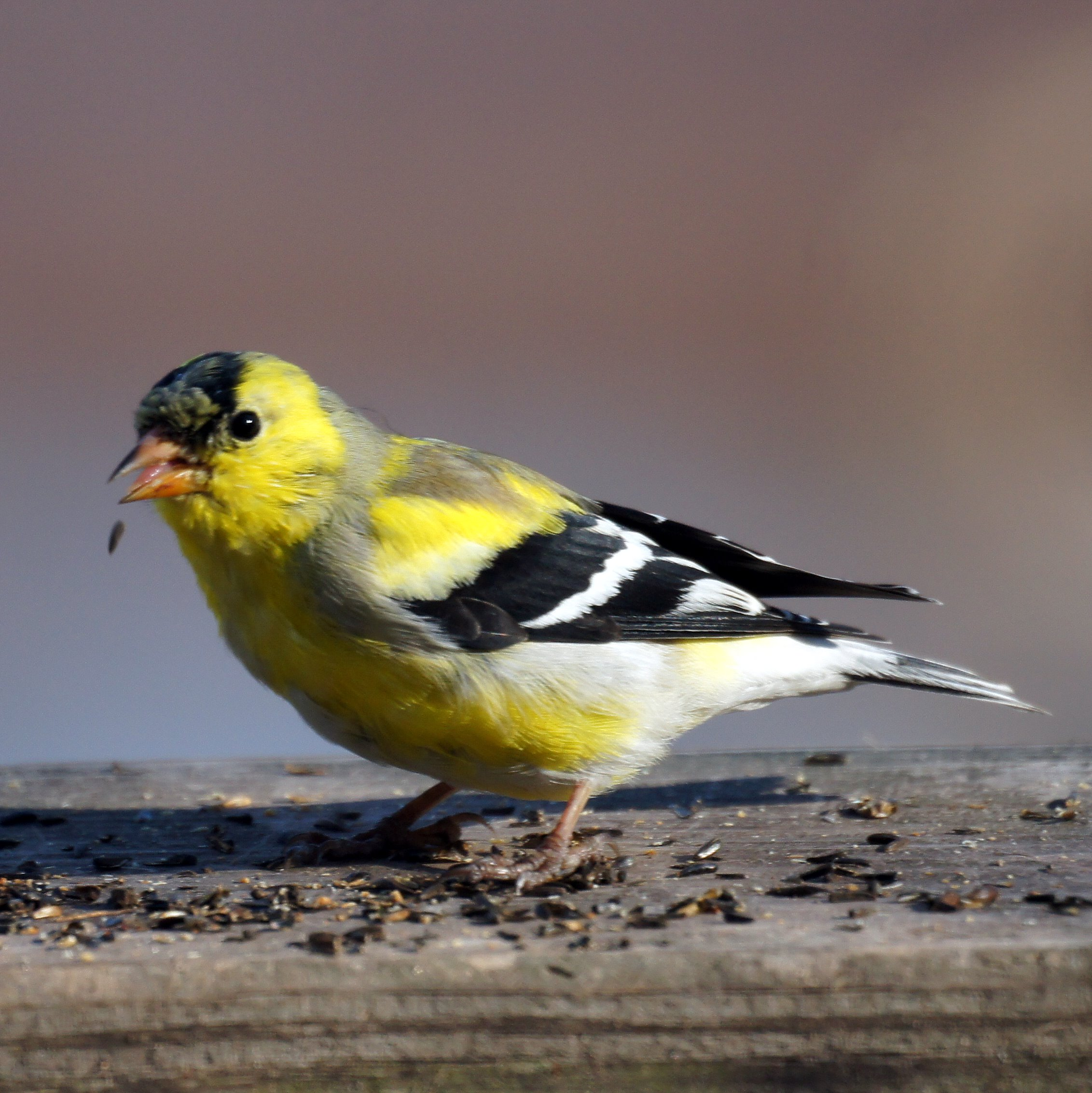 American Goldfinch svg #7, Download drawings