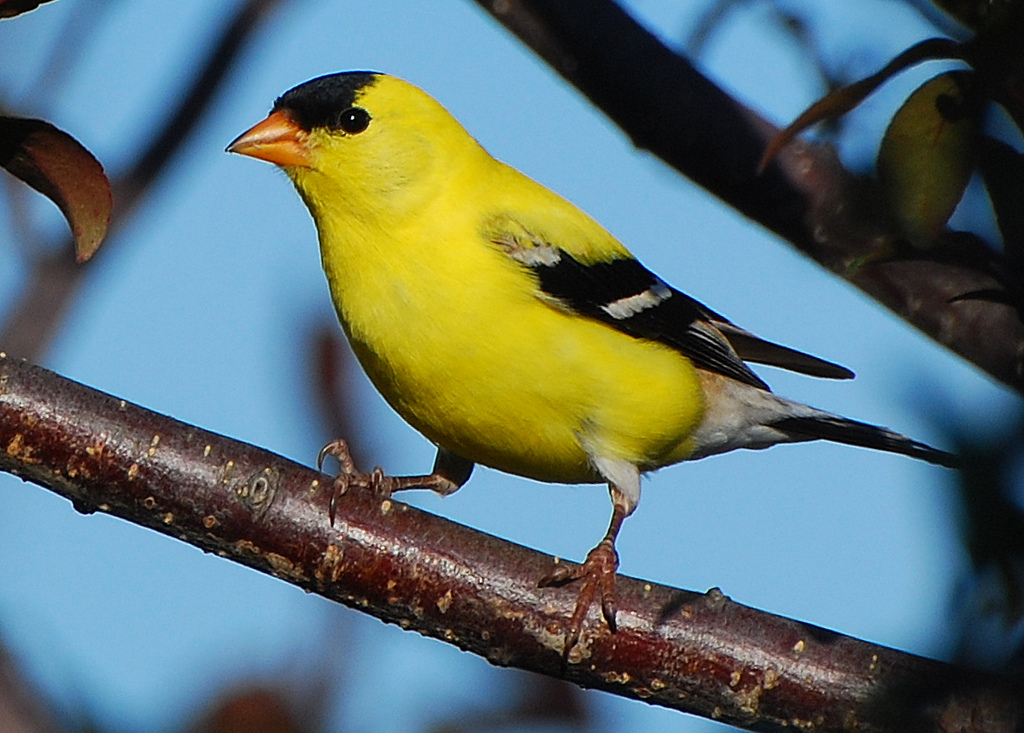 American Goldfinch svg #9, Download drawings