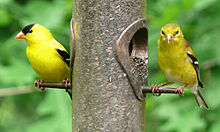 American Goldfinch svg #11, Download drawings