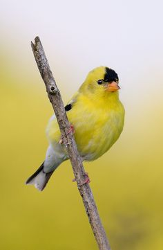 American Goldfinch svg #4, Download drawings