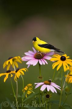 American Goldfinch svg #3, Download drawings