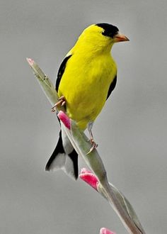 American Goldfinch svg #5, Download drawings