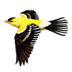 American Goldfinch svg #18, Download drawings