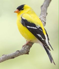 American Goldfinch svg #19, Download drawings