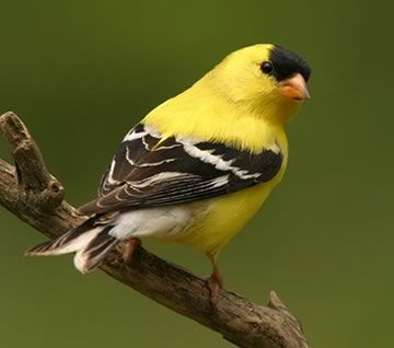 American Goldfinch svg #13, Download drawings