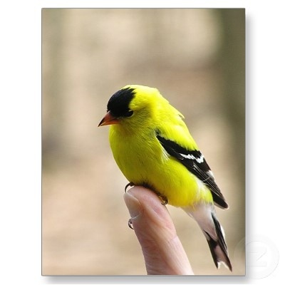 American Goldfinch svg #16, Download drawings