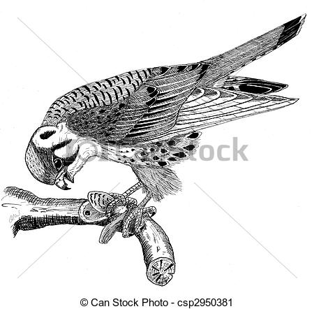 American Kestrel clipart #13, Download drawings