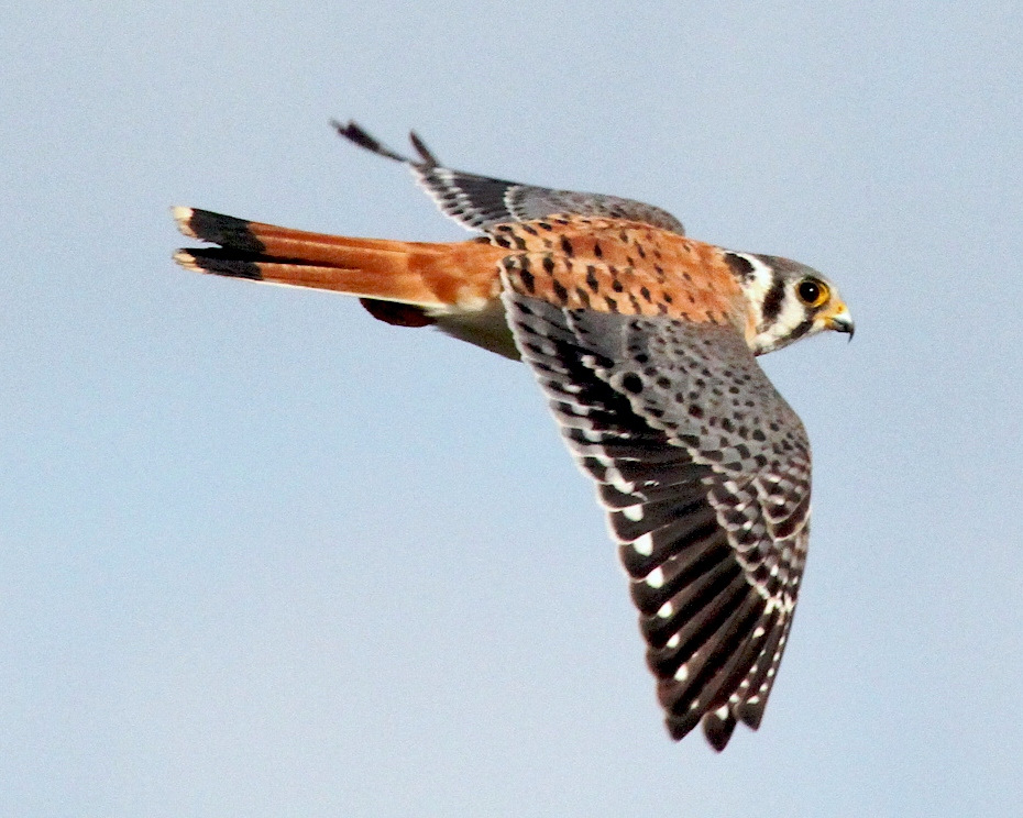 American Kestrel clipart #4, Download drawings