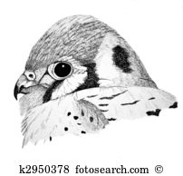 American Kestrel clipart #17, Download drawings